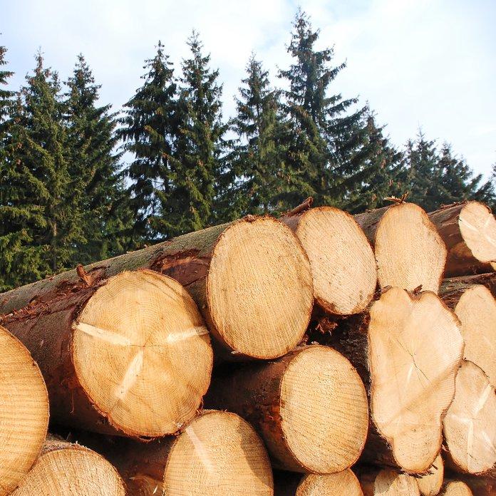 logging pine