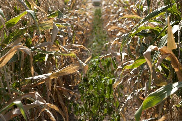 200 drought crop 2