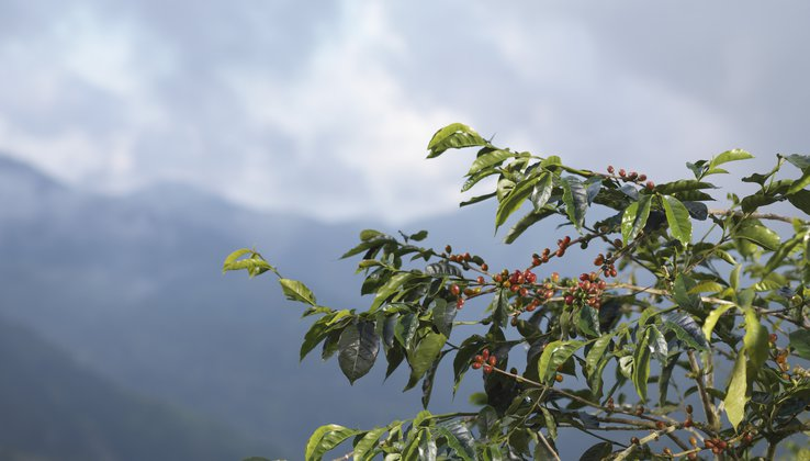 GettyImages-Coffee Beans on Tree.jpg