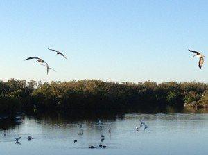 Pelican-Bay-Wildlife-300x224.jpg