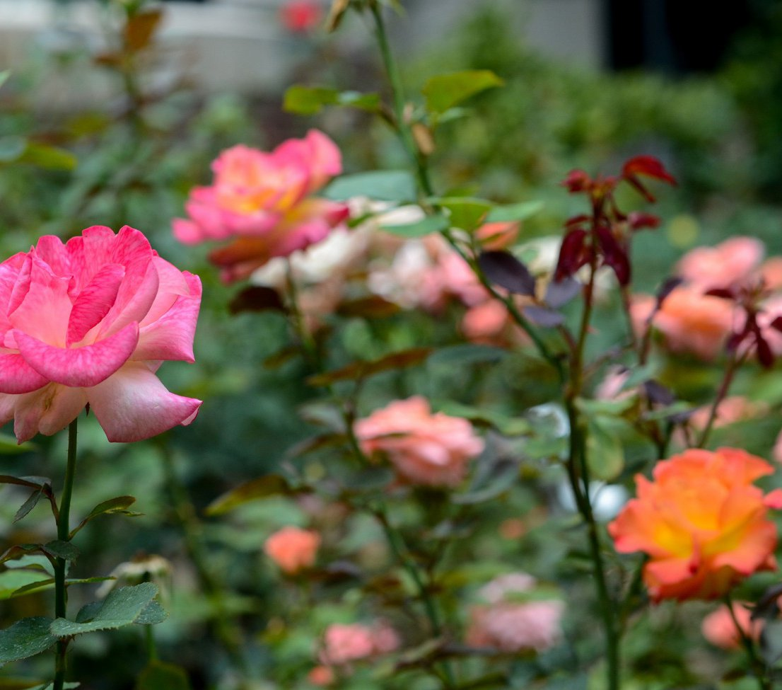 Rose Garden 4_small.jpg