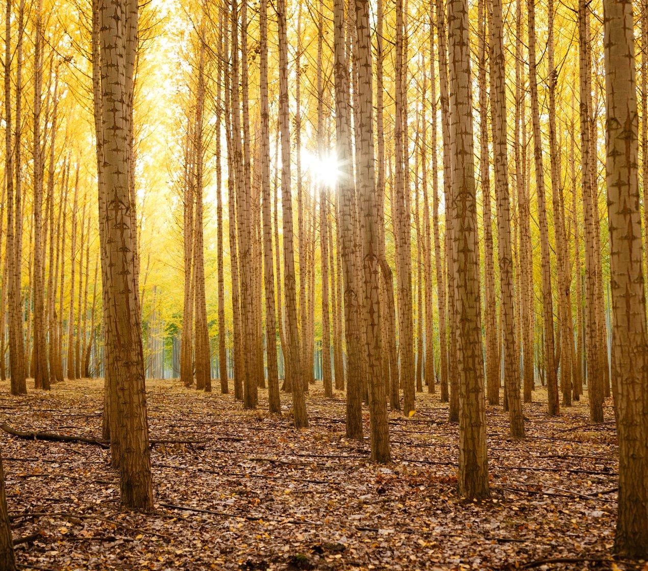 Poplars in Oregon tree farm