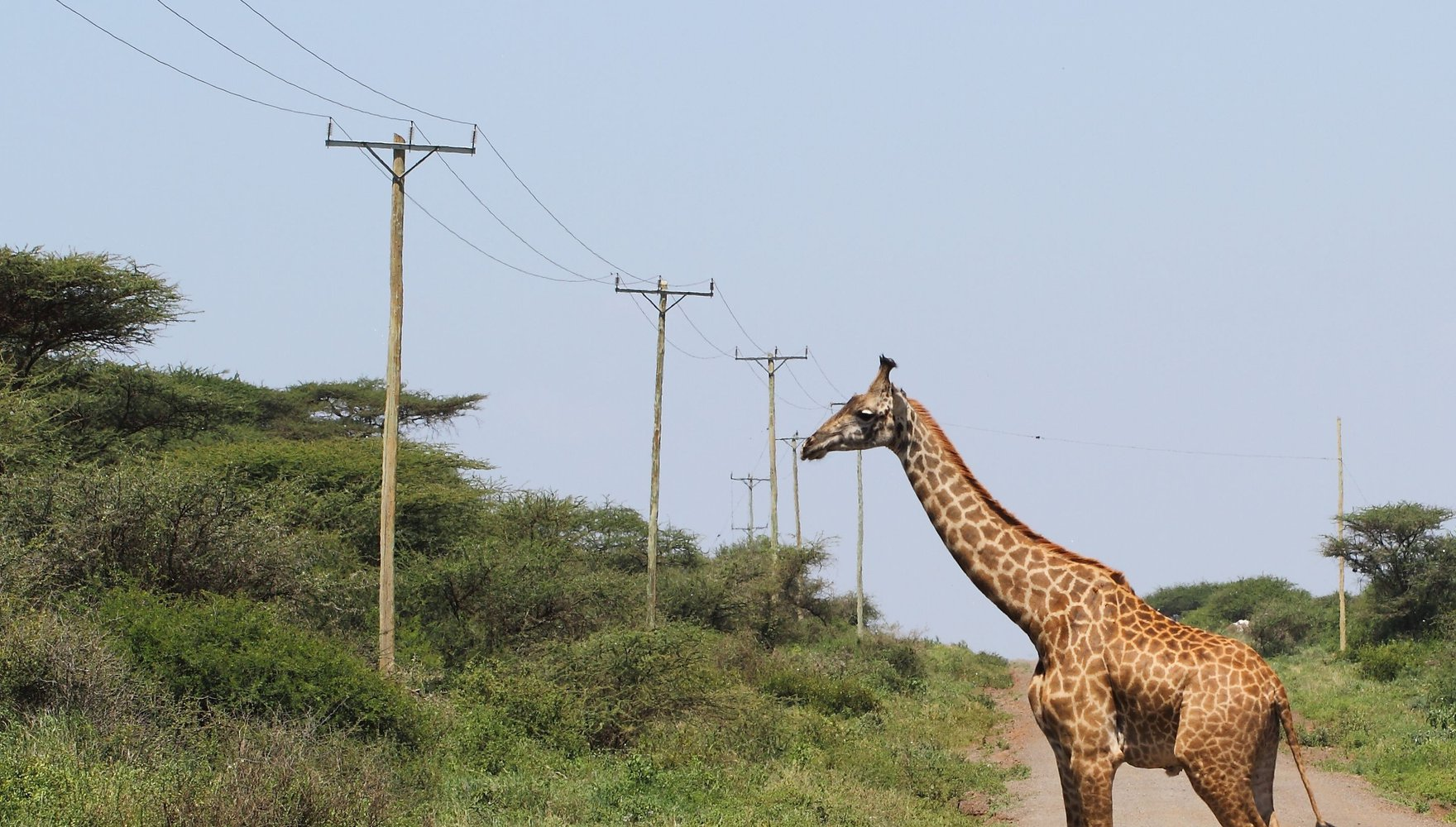 giraffe pic final test.jpg