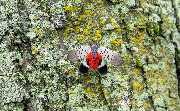 Spotted Lanternfly.jpg