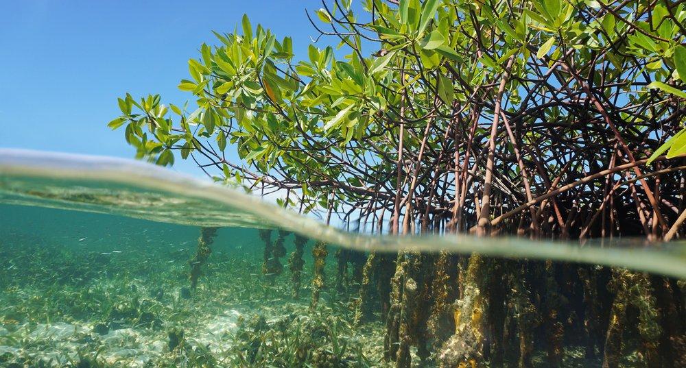 Mangrove tree and water