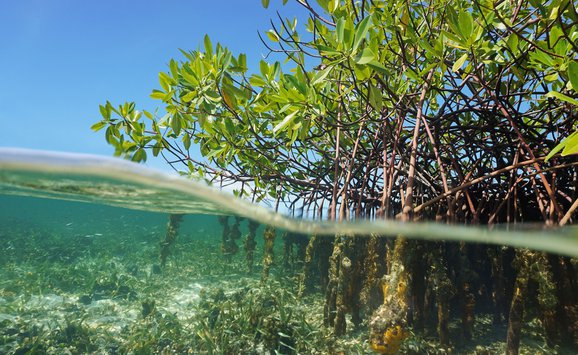 Mangrove tree and water