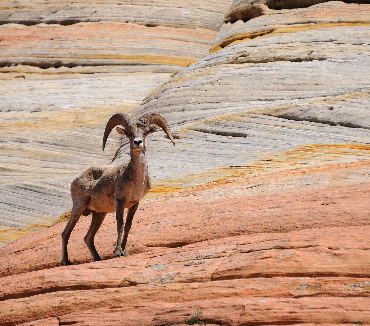 Mountain sheep / red rocks
