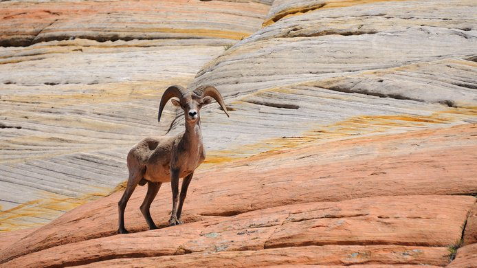 Mountain sheep / red rocks