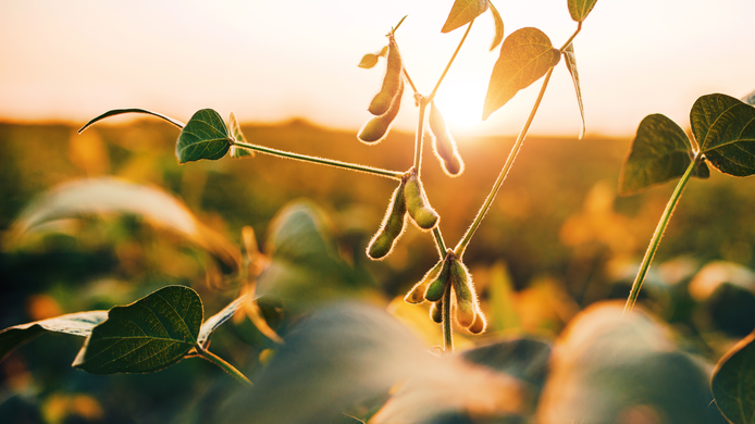 soybeans field agriculture